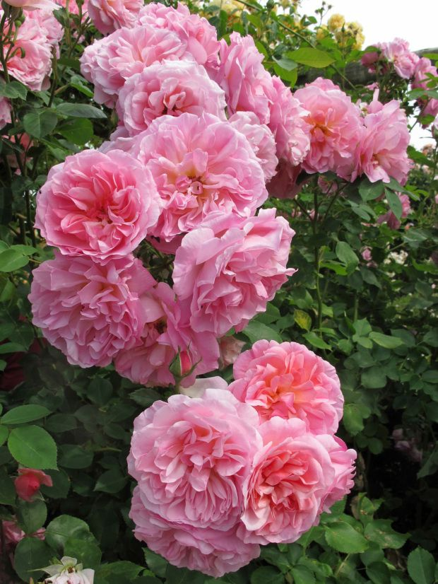 'Hyde Hall' |  Shrub.  English Rose Collection. Bred by David C. H. Austin (United Kingdom, 2004).