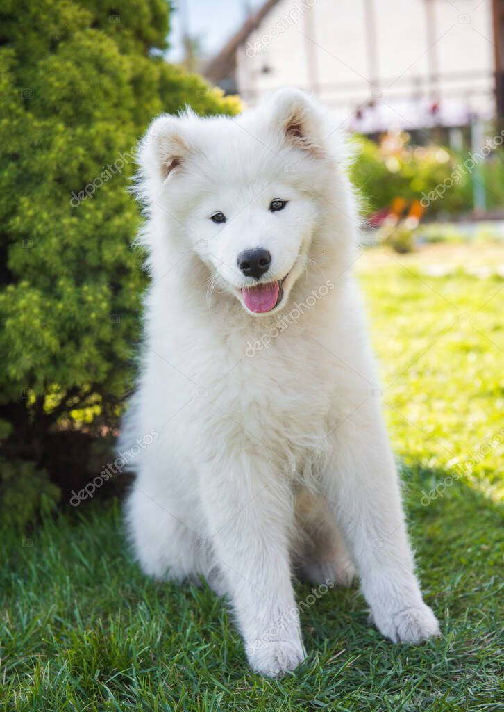 White Samoyed Puppy Dog Is Sitting On Green Grass Stock Photo Affiliate Puppy Dog White Samoyed Ad In 2020 Samoyed Puppy Dogs And Puppies Dogs