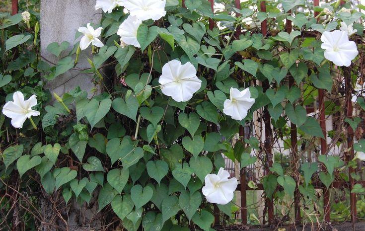 Moonflower Ipomoea Alba Florida Native Vine Perennial