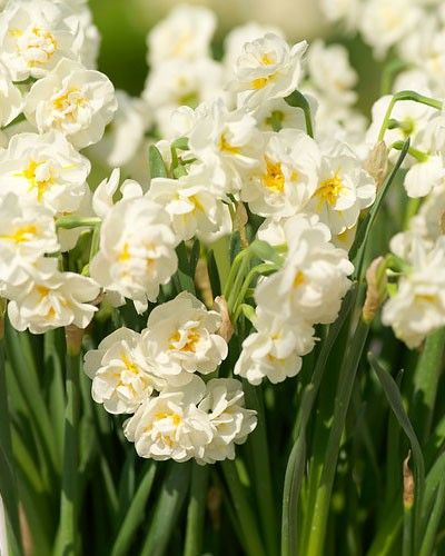 Narcissus 'Bridal Crown' Daffodil