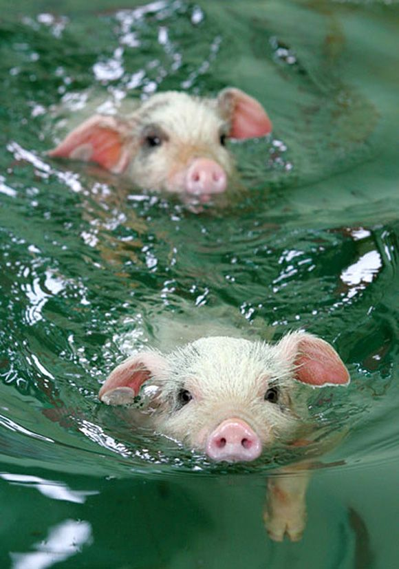 two cute pigs swimming