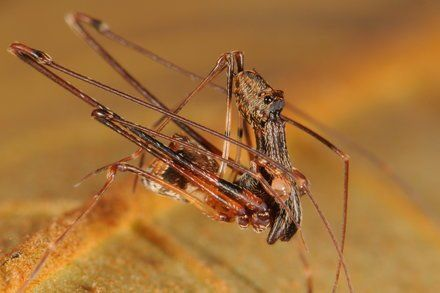 Pelican Spiders Ancient Assassins That Eat Their Own Kind