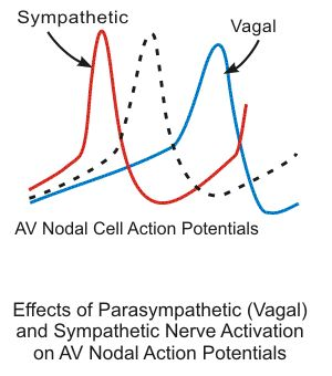 sympathetic and vagal effcts on atrioventricular node action potentials