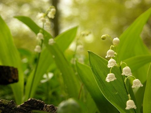 Lily-of-the-valley traditionally symbolize the second coming of Christ. Plants bearing traditional Christian symbolism are meaningful in a prayer garden.