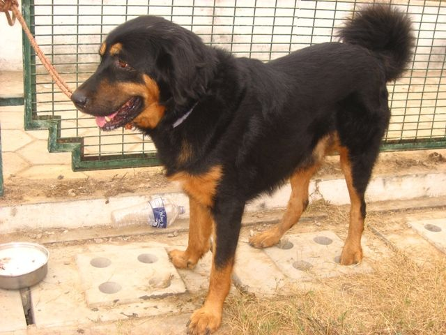12 Best Indian Dog Breeds You Should Know About Dog Breeds Dogs