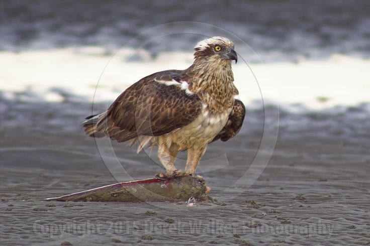 An Osprey (Pandion haliaetus), with a fresh kill, photographed at Beachmere on the southern end of the Sunshine Coast in Moreton Bay, Queensland, Australia. For image licensing enquiries, please feel welcome to contact me at derekwalker73@bigpond.com  Cheers :)