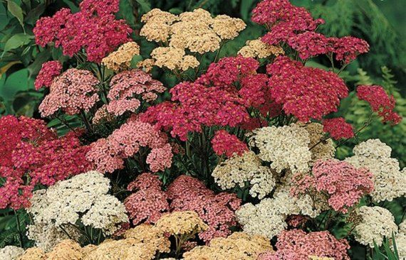 Yarrow Seeds Achillea Millefolium Mix Color Pink Rose Achillea Millefolium Plants Yarrow Flower