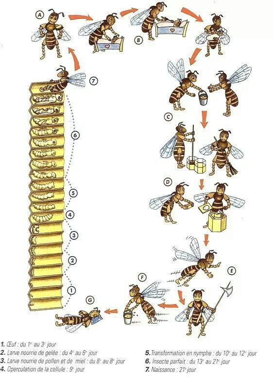 Life Cycle - Good visual for children. This is very easy for your children to follow when you introduce them to the world of beekeeping.