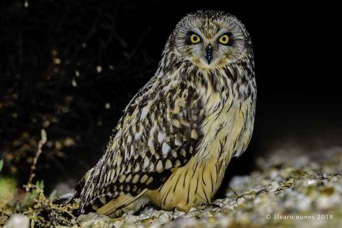 Coruja-do-nabal | Short-eared owl | Asio flammeus by alvaronunes - ViewBug.com
