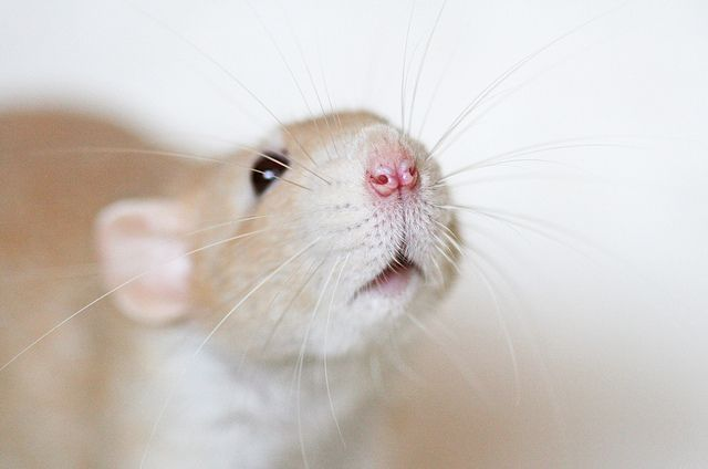 Untitled Whiskers Rat Weuntitled We 3 Rat Whiskerswe 3 Rat Whiskers Rats Cute Rats Pet Rats