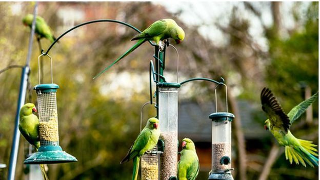 The ring-necked parakeet is now a common sight in London