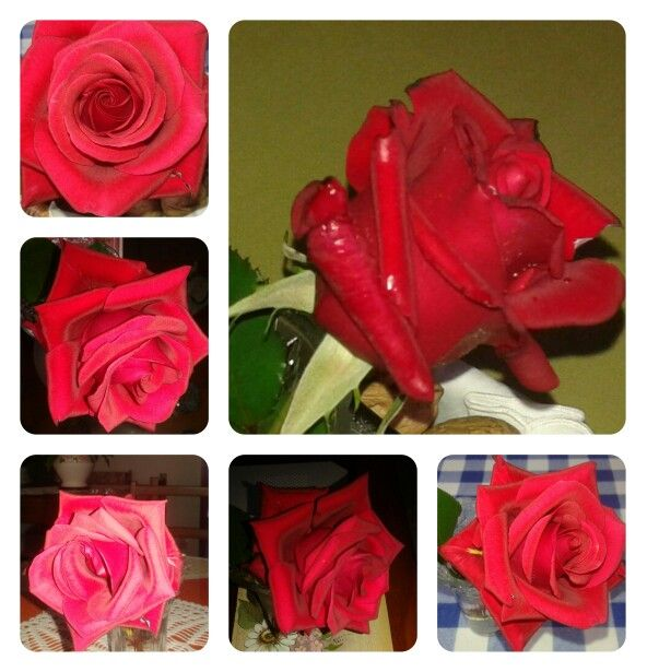 Mi rosa paso a paso !!!!