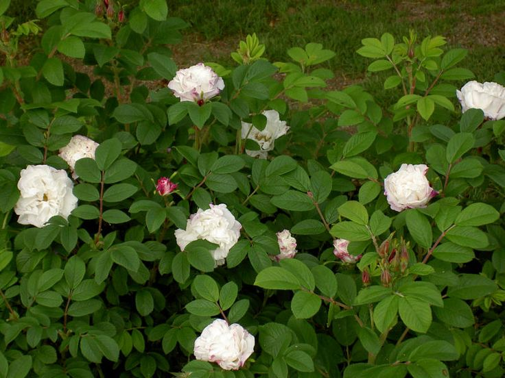 Louise Bugnet - särdrag är de vackra röda knopparna som sedan utvecklas till helvita rosor. Max 130 cm