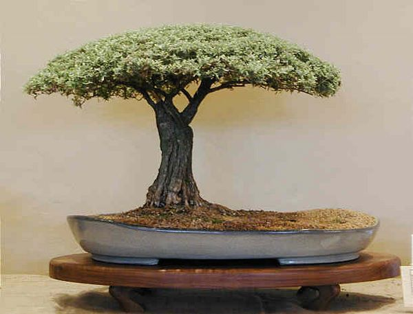 Flat-top Bonsai