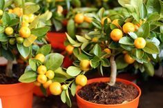 Trucos que no conocías sobre cultivar árboles frutales en macetas. Sorprendente - Frases al Momento