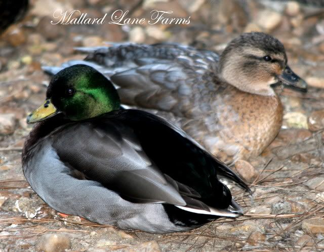 Blue Fawn Call Ducks Farm Animals Duck Breeds Duck