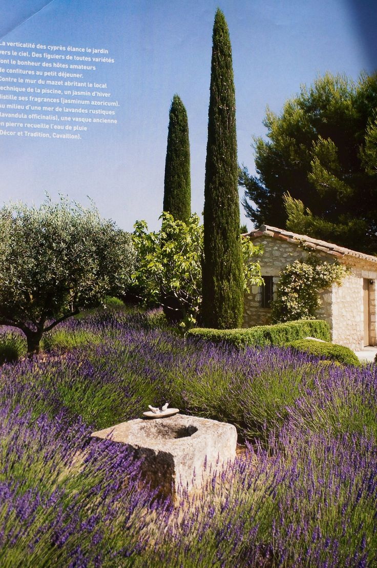 It's just not a true Provencal garden without Cypress, Olive trees and Lavender.