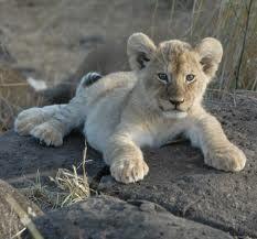 afrikaanse safari - Google zoeken