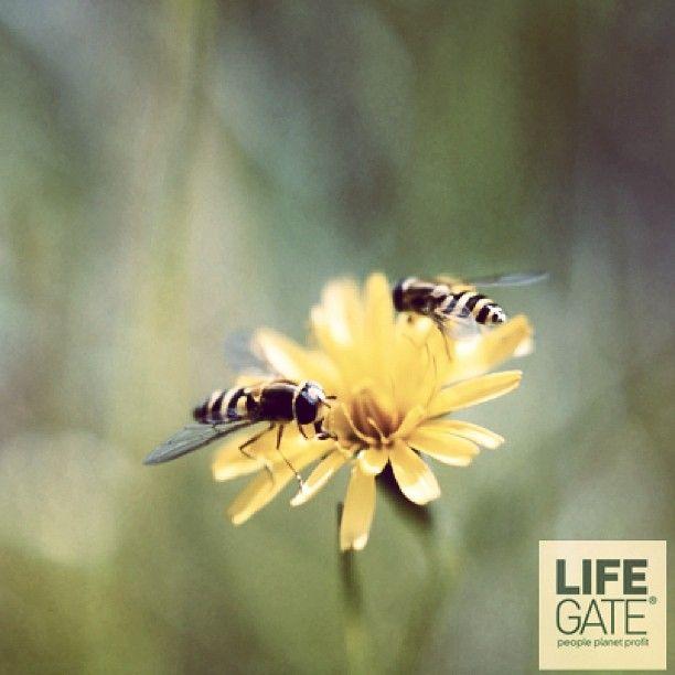L'Agenzia europea per la sicurezza alimentare ha dichiarato in un rapporto che i pesticidi neonicotinoidi sono una minaccia per il futuro delle api. Il 31 gennaio la Commissione europea potrebbe decidere di vietarli, ma i produttori di queste sostanze stanno minacciando il raggiungimento di un accordo. Firma la petizione per chiedere la messa al bando dei neonicotinoidi e salvare le api: http://chn.ge/X3akCm
