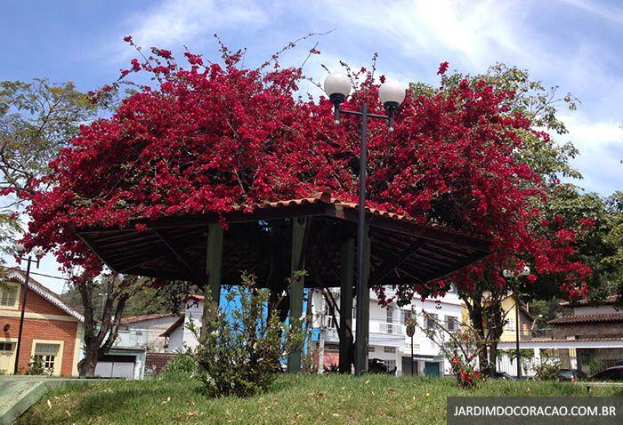 Primavera ou Bougainvillea em Piraí, estado do Rio de Janeiro, Brasil.