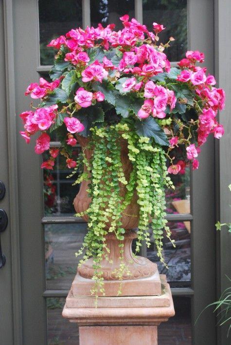 •.¸¸♥ beautiful begonia with creeping jenny •.¸¸♥