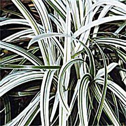 Ophiopogon 'Silver Dragon'