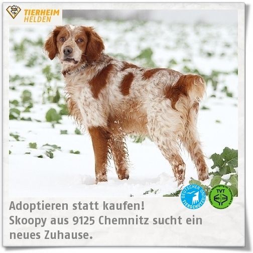 Skoopy wurde aus Griechenland mitgenommen, aber dann konnte die Familie ihn nicht weiter betreuen und so kam er ins Tierheim Chemnitz.  http://www.tierheimhelden.de/hund/tierheim-chemnitz/british_spaniel_mix/skoopy/6565-0/  Skoopy ist nach der Überwindung anfänglicher Unsicherheit ein freundlicher und menschenbezogener Hund. Er beherrscht die Grundkommandos, verträgt sich mit anderen Hunden und Katzen. Da er nicht alleine bleiben kann, wird eine Familie gesucht, die Skoopy überall mit…