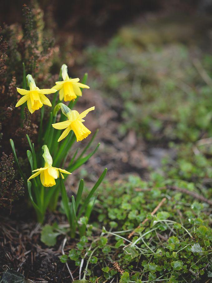 Narcissus in spring garden