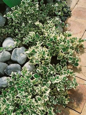 """Euonymus fortune:i Emerald Gaiety Wintercreeper Type: Perennials, Groundcovers Height: Short 12-15"""" (Plant 2' apart) Sun-Shade: Full Sun to Full Shade  Zones: 5-8    Soil Condition: Normal, Sandy  Deep green and white variegated foliage takes on rose red hues in late fall. Evergreen low-growing, spreading foliage of Emerald Gaiety will mound on itself or work its way up a foundation or tree base.  Bluestone Perennials, Inc"""