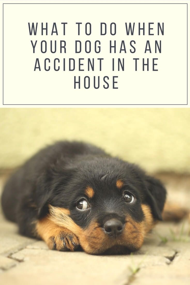 What To Do When Your Dog Has An Accident In The House Cleaning