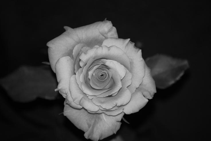 Funeral Rose: Funeral Rose, Flower
