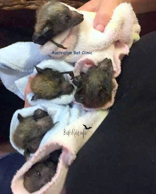 Rescue five Megabat Grey-headed Flying-fox Fruit bat babies Check your local colony. Unvaccinated, public, please do not handle any Megabat or Microbat. Call your local rescue wildlife group, council or ranger. These little ones were rescued and there were others dead on the ground. Very dehydrated and now in care.