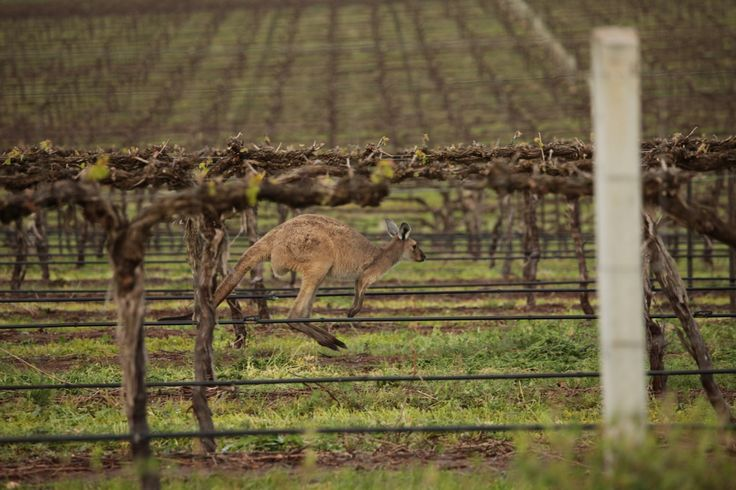 A special visitor at the Wakefield Promised Land Vineyard, Clare Valley, Australia