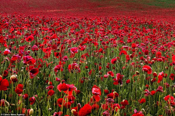 Sea of colour: This spectacular display of blood-red poppy fields was photographed as a moving tribute