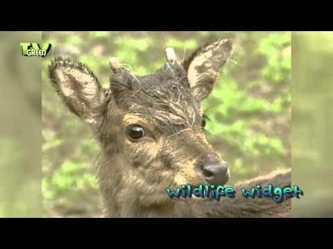 Edelhert - Red Deer running wild - YouTube
