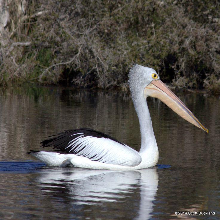 Australian Pelican - Denmark, Western Australia - ©2014 Scott Buckland