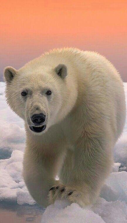 Curious Polar Bear!
