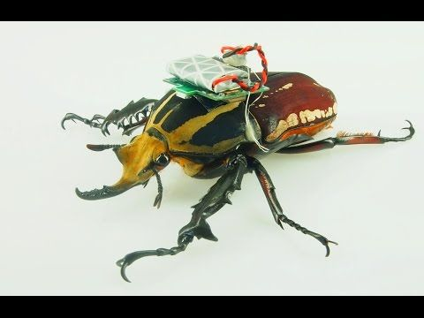 A Cyborg Swarm: The Future Of Drone Tech is Remote-Controlled, Living Beetles