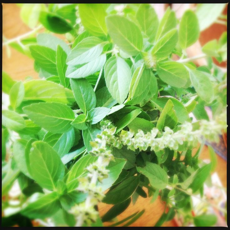 Indian Essentials: What is Tulasi? | Indian Holy Basil | An Essential Ingredient in Every Kitchen and Medicine Chest