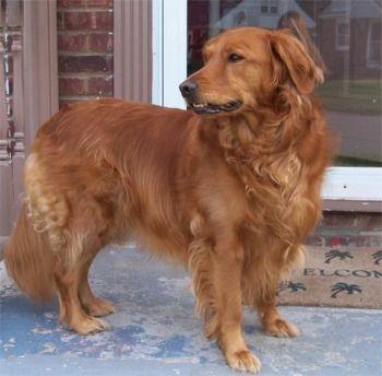 Red Golden Retriever | Dogs I love | Pinterest