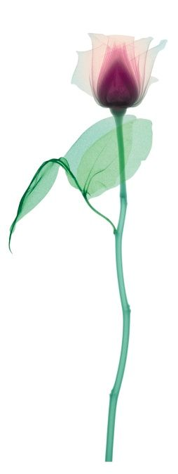 Photo : X-ray of a rose with a long stem and two leaves