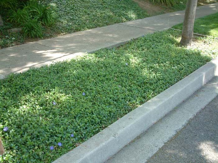 image result for vinca ground cover under trees - Ground Cover Ideas