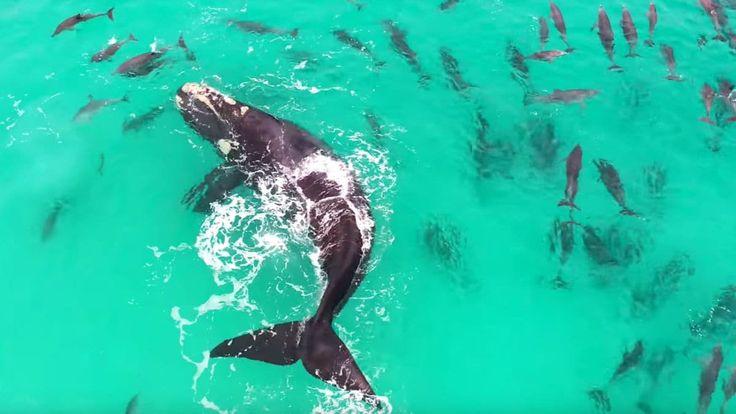 Espectáculo natural: el deslumbrante momento en el que un grupo de delfines juega con una ballena en una playa australiana