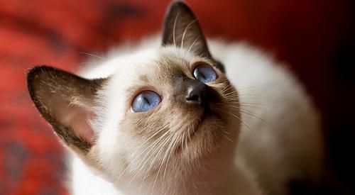 white siamese cats Funny Cat Wallpapers