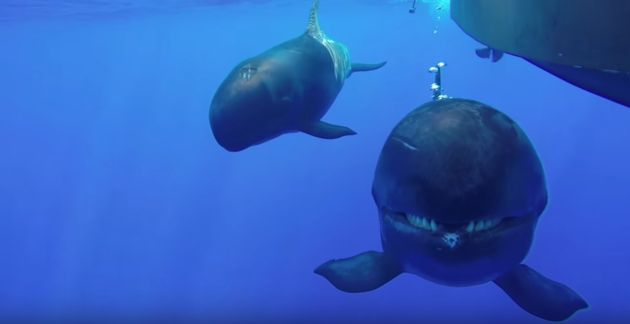 False Killer Whale with a Killer Smile https://www.youtube.com/watch?v=aeth4NQ0ff0