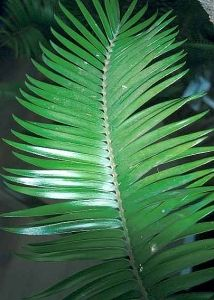 Encephalartos paucidentatus       leaves           Barberton Cycad              Barbertonsebroodboom