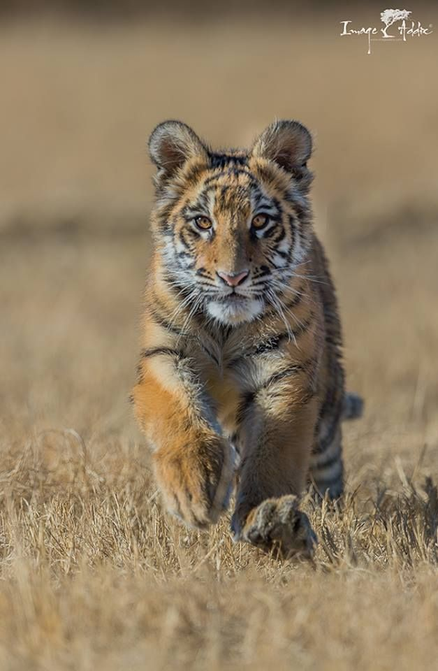 Tiger cub on the move at Tiger Canyons in South Africa by Mems Carim