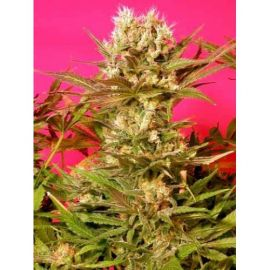 Motavation - strain - Serious Seeds | Cannapedia