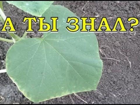 Если у листьев ОГУРЦА желтеют края... ЧТО ДЕЛАТЬ? - YouTube