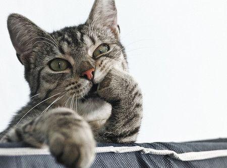 指をくわえる猫